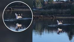 حمله عقاب به مرغ دریایی نگون بخت + فیلم