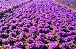خرید بیش از نهصد کیلوگرم زعفران خشک در خواف