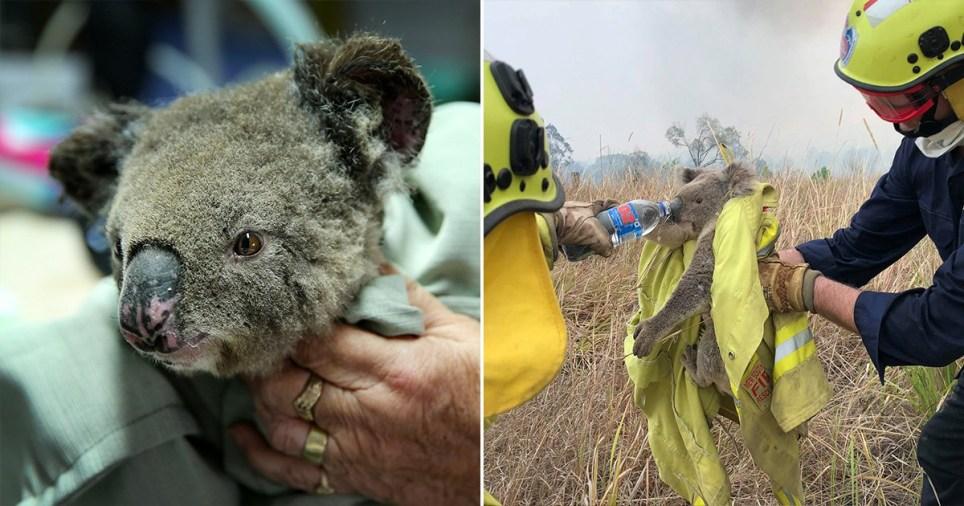 مرگ بیش از ۲ هزار کوآلا در استرالیا+ تصاویر