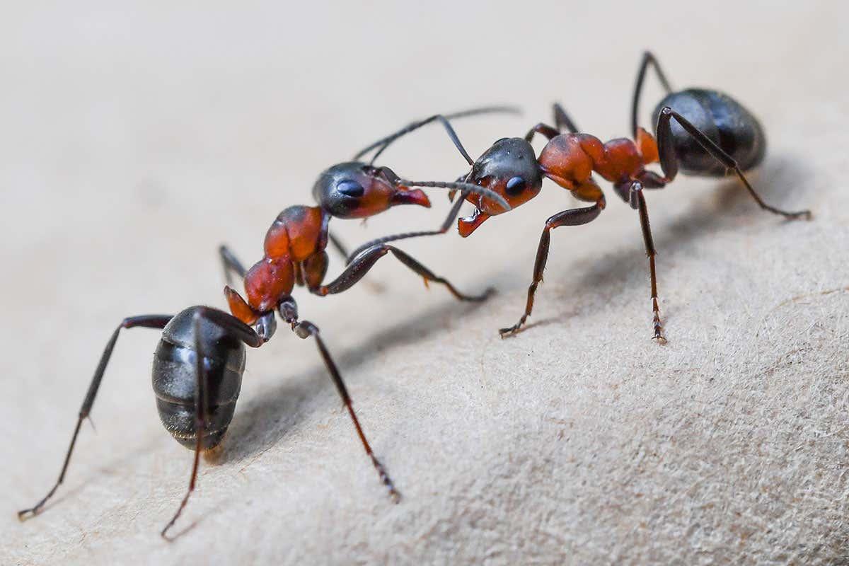 مورچههایی که تسلیحات هستهای هم حریفشان نشد!