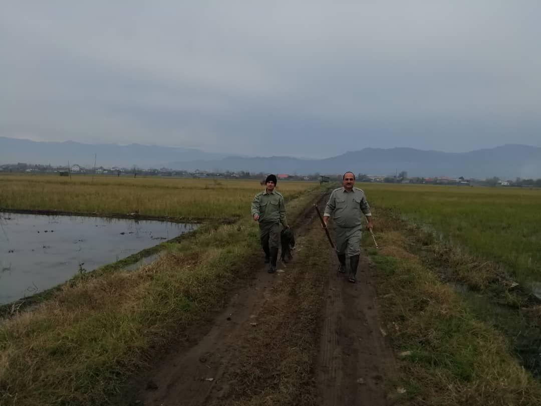 جمع آوری دامهای هوایی و تخریب کومههای شکار غیر مجاز در لنگرود