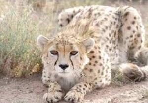 زنده گیری و آزادسازی یک قلاده گربه وحشی درشهرستان هریس