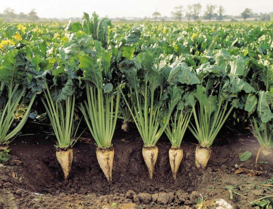 برداشت ۲۹۵ هزار تن چغندر قند از مزارع استان همدان
