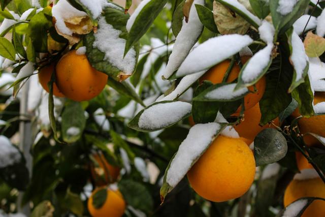 چرا باغداران از بیمه کشاورزی اجتناب میکنند؟ / عمده خسارت سرمازدگی به محصول سیب وارد شد