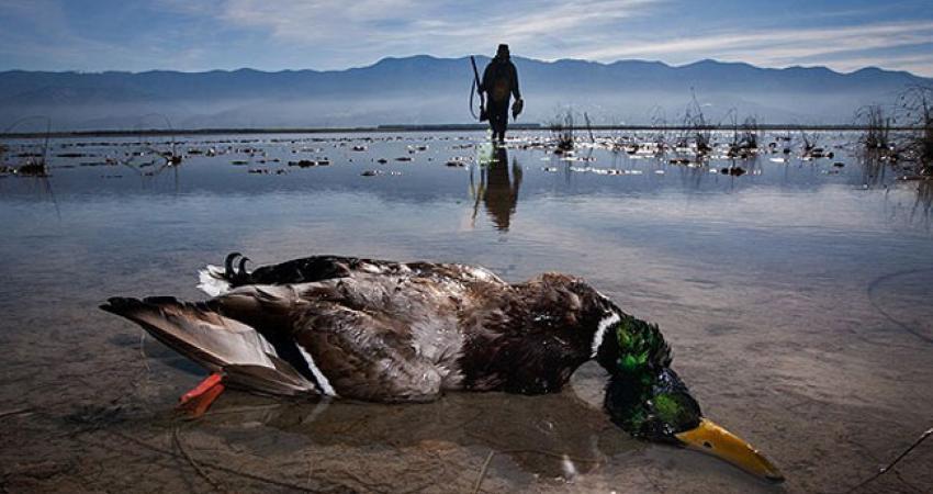 پایان عمر پرندگان مهاجر با صید و شکار بی رویه/