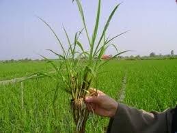 ۳۰ هزار گیاه بهعنوان علف هرز شناخته شده است