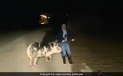 تعقیب گزارشگر توسط خوک حین گزارش زنده تلویزیونی!
