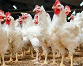 بازار مرغ تعریفی ندارد / بحران کرونا عامل اصلی زیان مرغداران