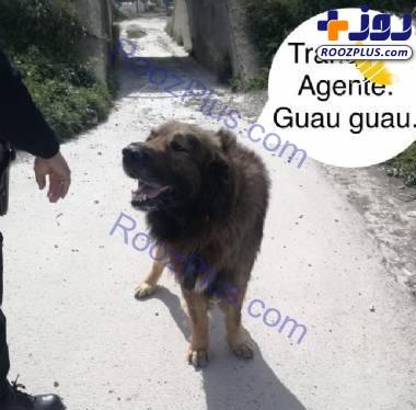 شباهت عجیب یک سگ به شیری ترسناک+عکس