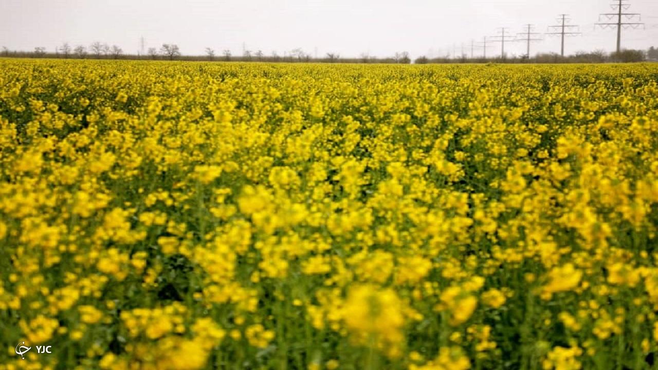 گزارش تصویری از مزرعه گیاه کلزا شرق مشهد در یک روز سرد بهاری