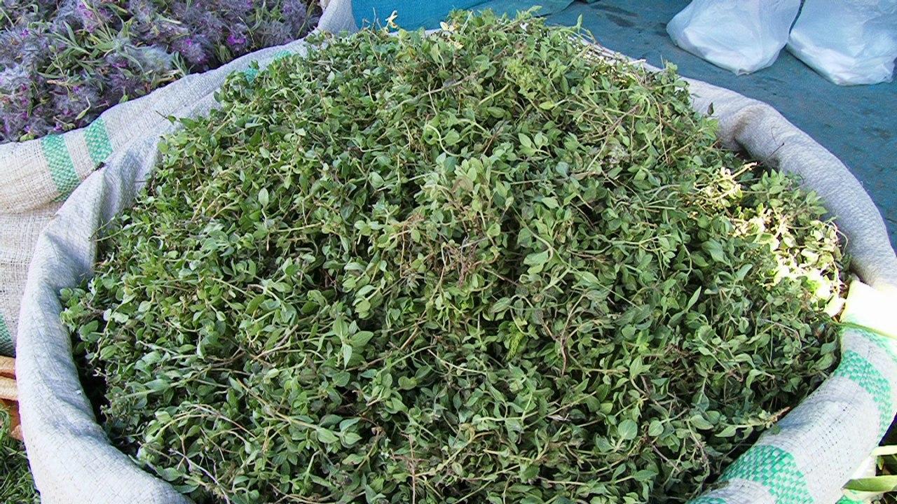 آغاز برداشت گیاهان کوهی در آذربایجانغربی