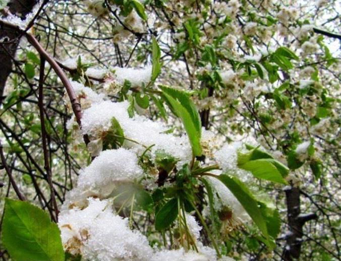 خسارت سرما زدگی به باغات میانه