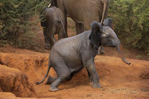 تصاویری دیدنی از سقوط بچه فیل در حفره