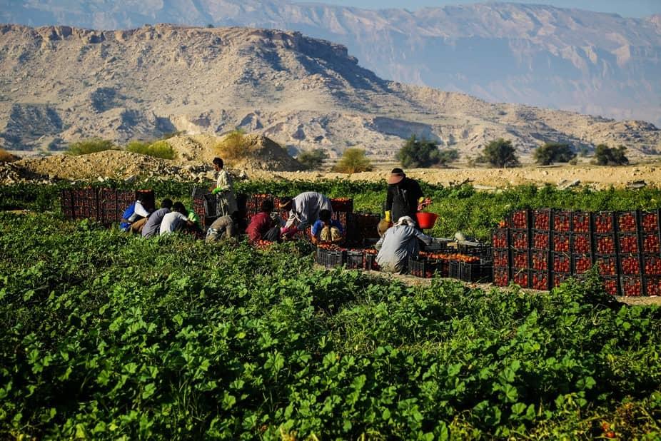 وقتی دلالان با گوجه کشاورزان املت مخصوص میپزند/ از زمین کشاورزان تا زمان پخت چقدر آب میخورد؟