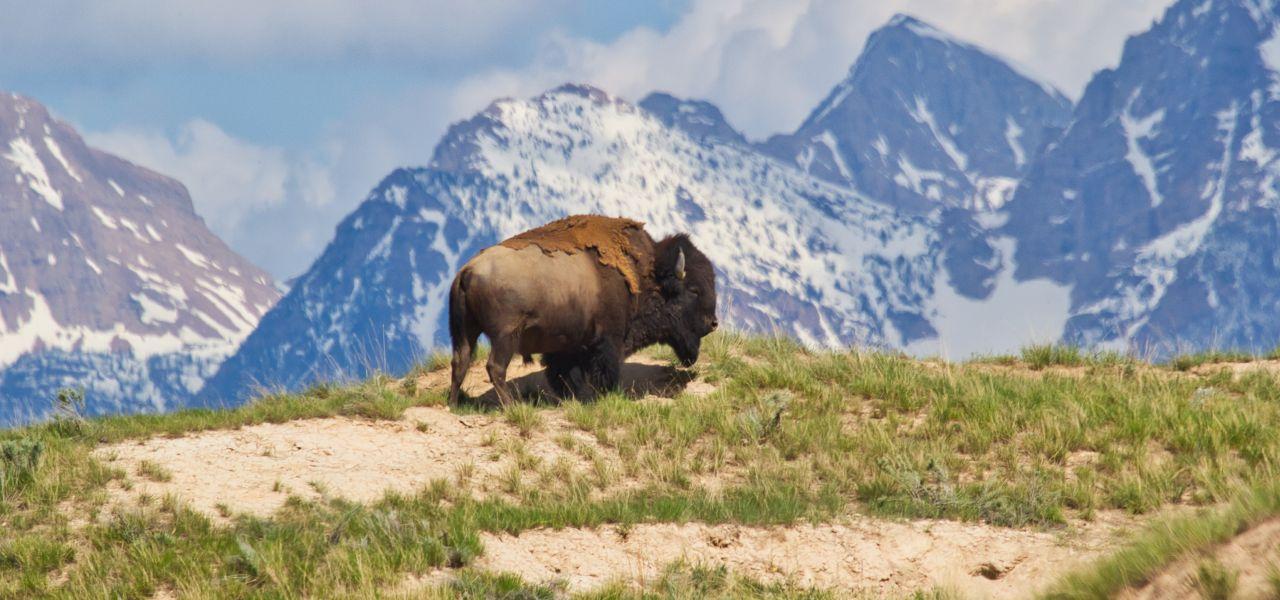 هر آنچه که باید در مورد گاومیش کوهان دار آمریکایی بدانید