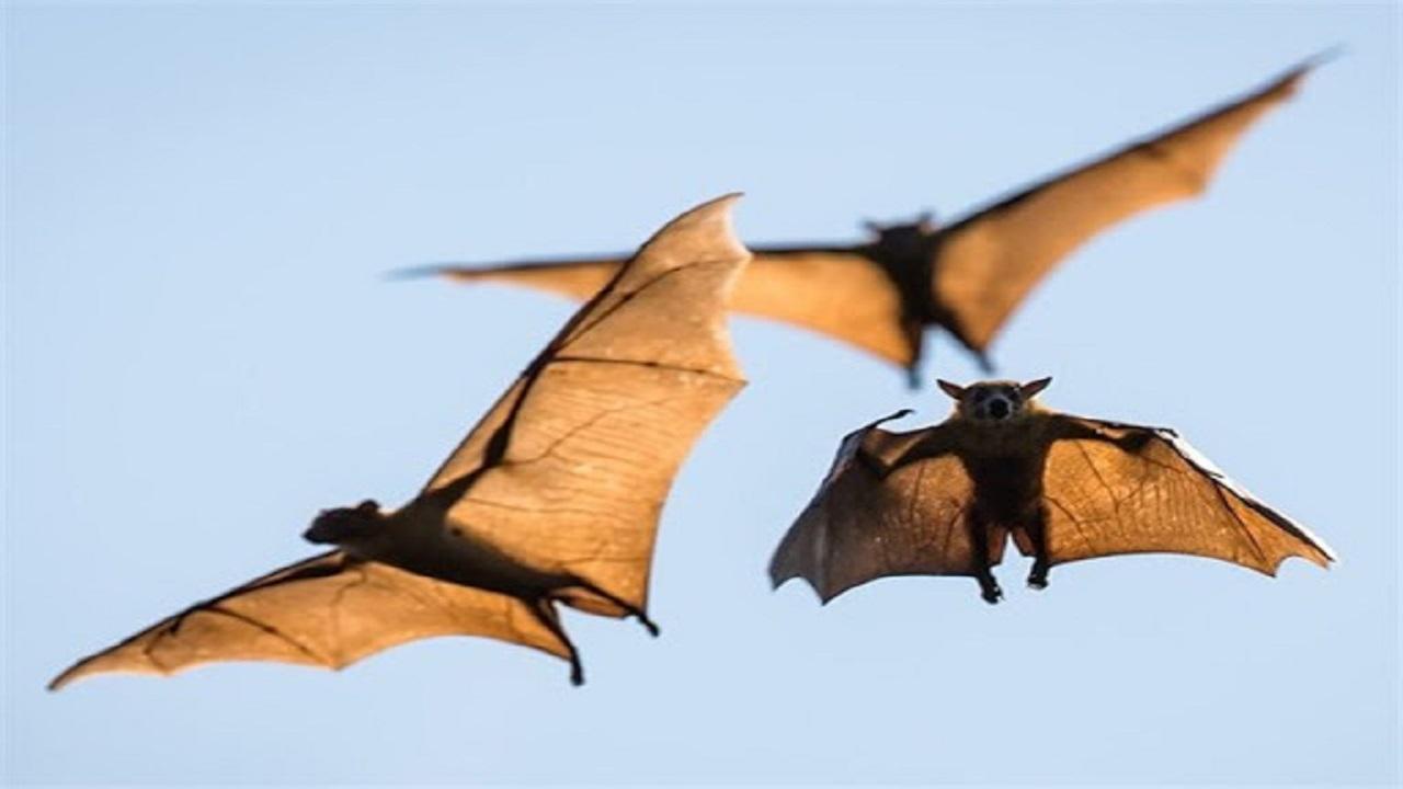 اتونشر عید// ویروس کرونا چگونه از خفاش به انسان منتقل میشود؟