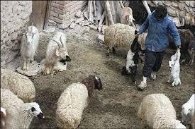 تلف شدن بیش از ۲ هزار راس دام در جنوب کرمان