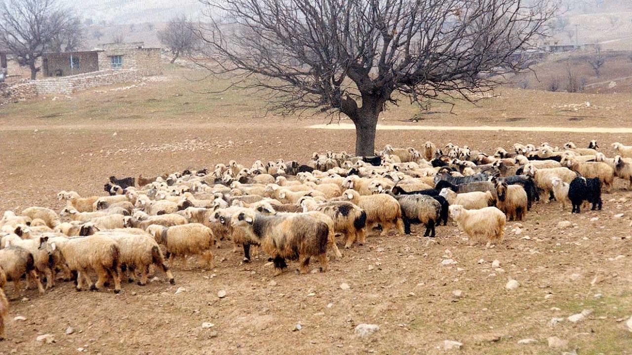 اجرای طرح اصلاح نژاد گوسفند بومی در چهارمحال و بختیاری