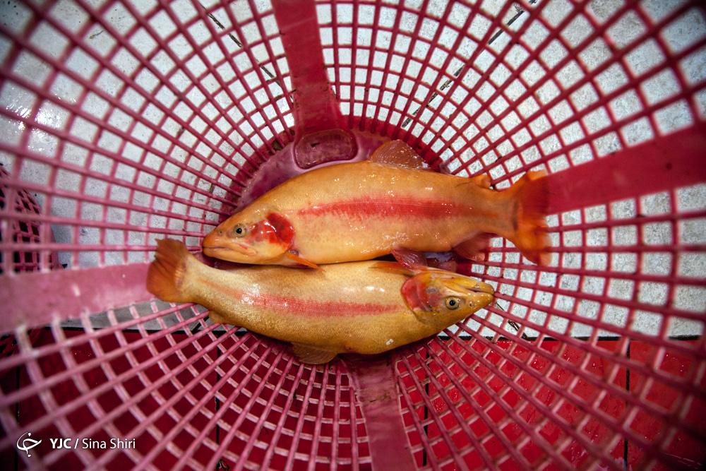 پرورش ماهی در قفس شعاری بیش نیست