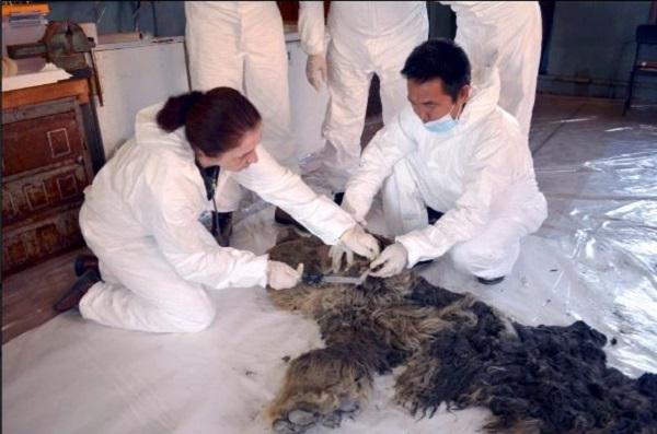 کشف جسد یک کرگدن منقرض شده در یخهای سیبری