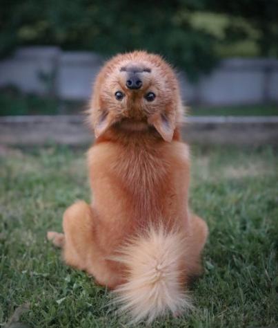توله سگی که سر خود را ۱۸۰ درجه میچرخاند