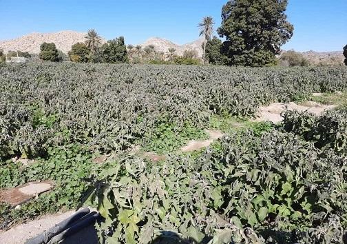 سرما محصولات کشاورزی هرمزگان را نابود کرد+ تصاویر