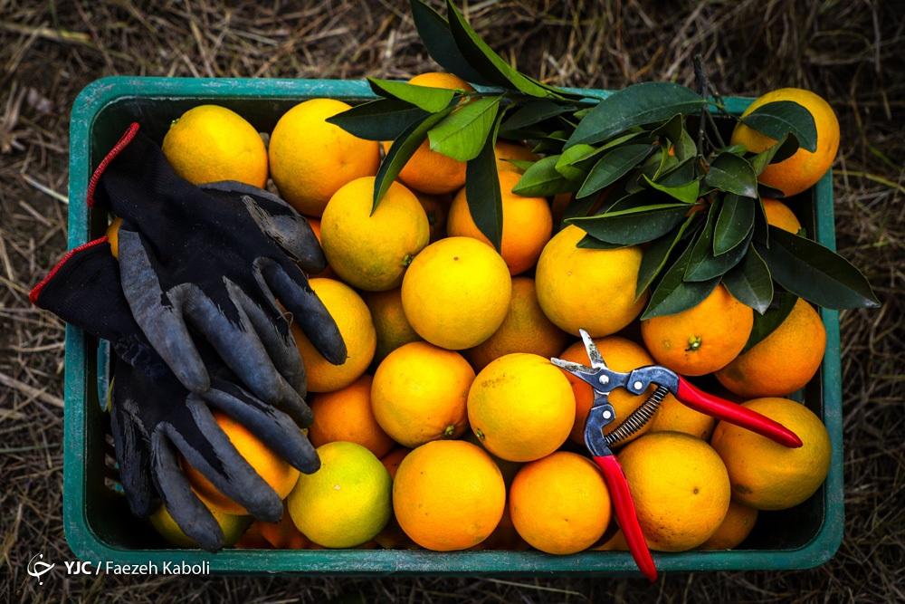چرا میوه امسال یکباره گران شد؟/ دلالی هایی که تمامی ندارند!