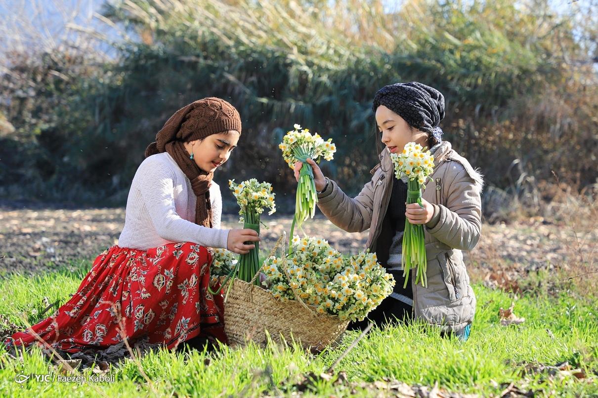جشنواره برداشت گل نرگس