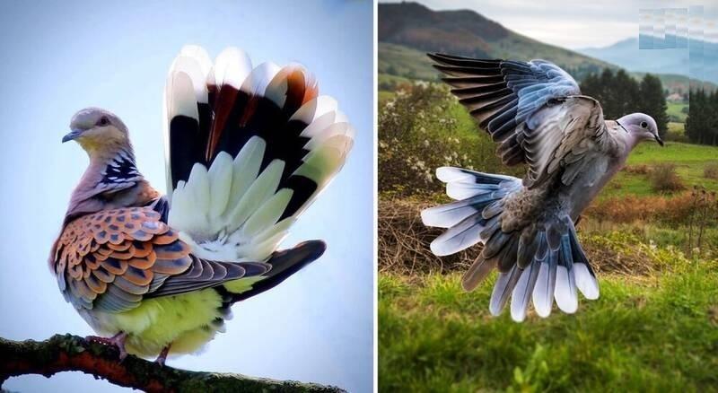 زیباترین کبوتر جهان + عکس