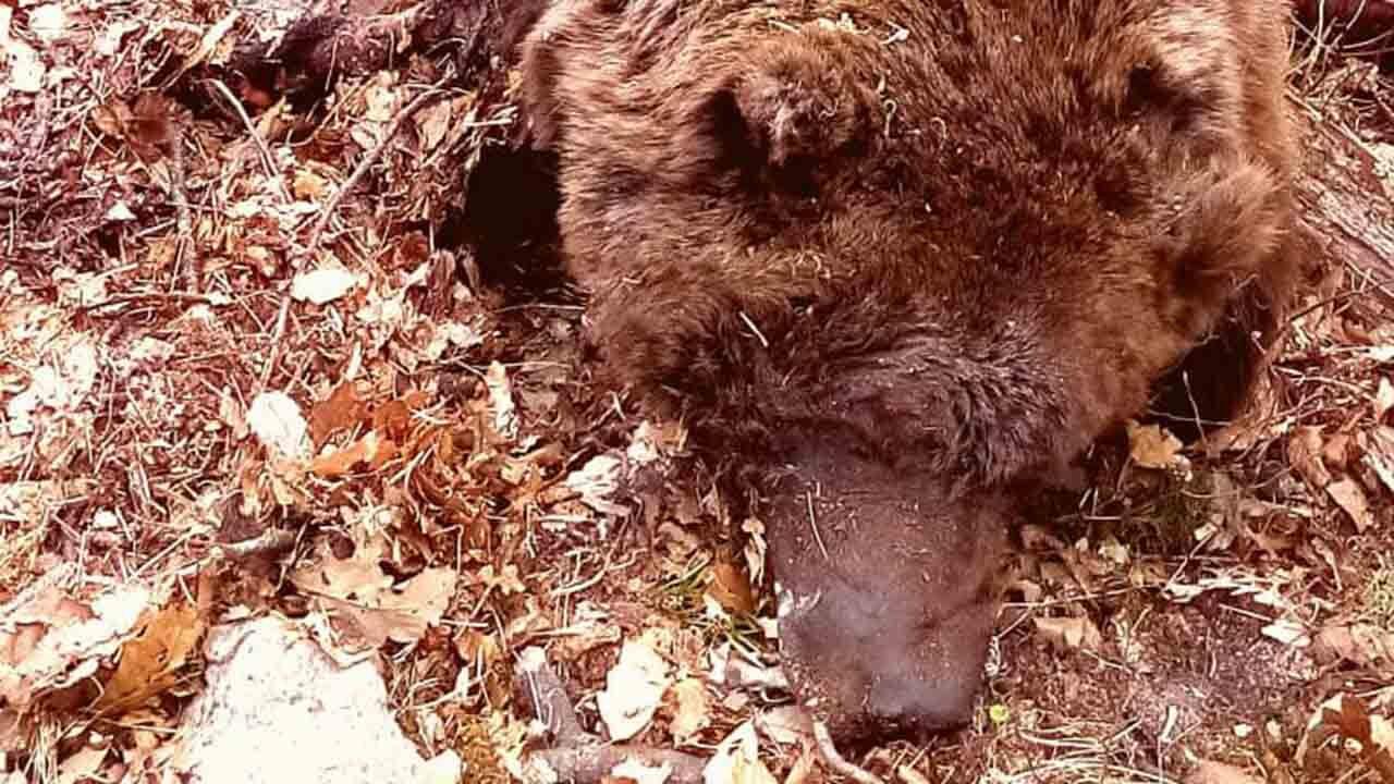 جستجو برای کشف لاشه یک قلاده خرس قهوهای در ارتفاعات توسکستان