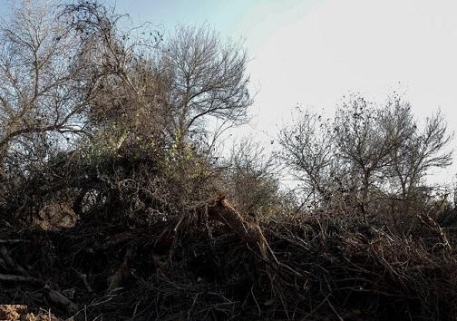 قطع درختان منطقه حفاظت شده کرخه