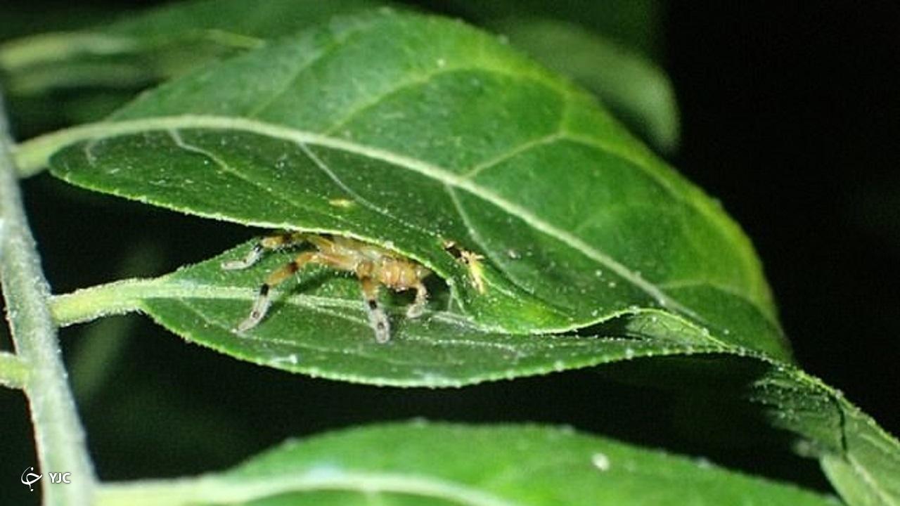 صحنه عجیب قورت دادن قورباغه توسط عنکبوت خرچنگی