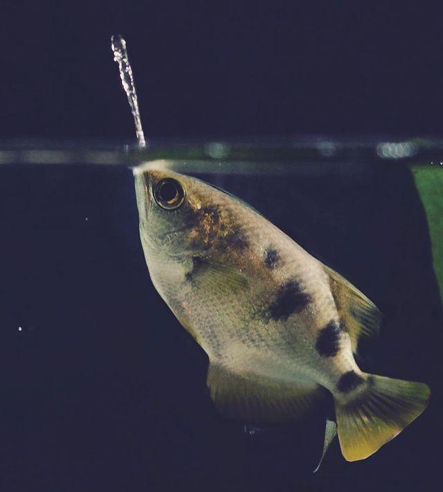ماهی تیرانداز با نادرترین اشکال شکار طعمه + تصاویر