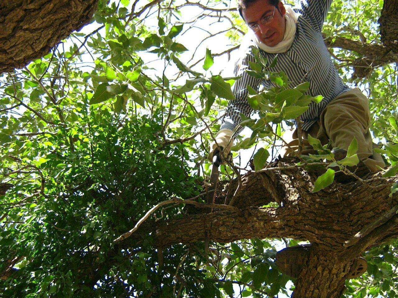 آغاز عملیات پاکسازی درختان آلوده به موخور در جنگلهای دالاهو