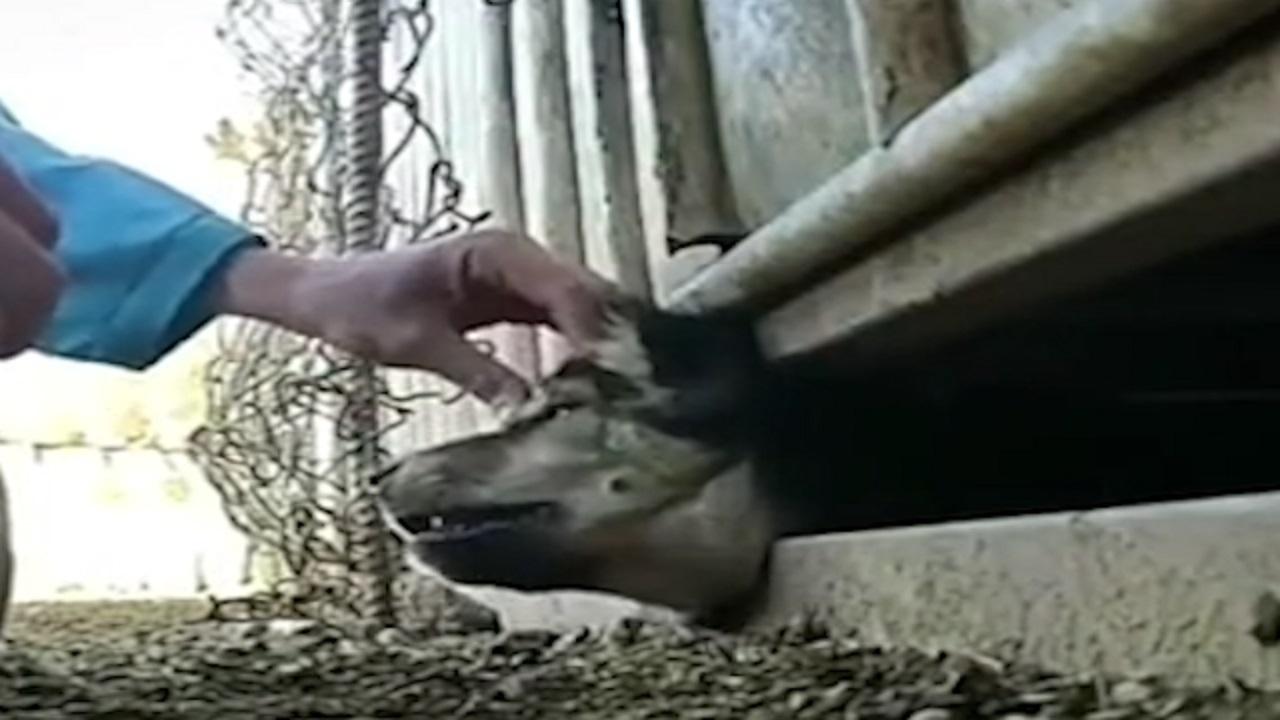 نجات سگ گرفتار زیر کانکس توسط جوان دهلرانی + فیلم