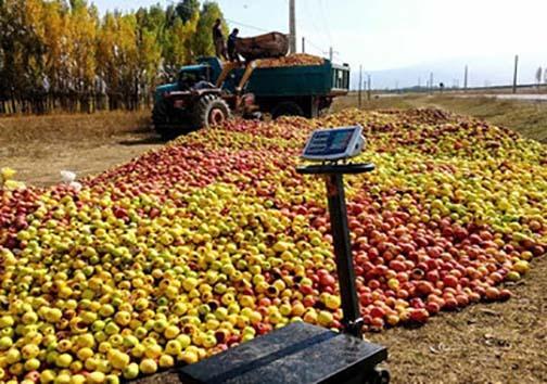 افول پادشاهی سیب در باغ های استان های غرب کشور/ سیبهای که بجای فروش در بازار شب عید ضایعاتی میشوند