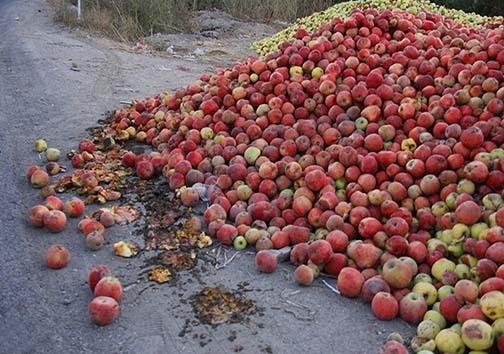 تلخ شدن شیرینی سیب در کام باغداران استان های غرب کشور/ سیبهای که بجای فروش در بازار شب عید به ضایعات میشوند