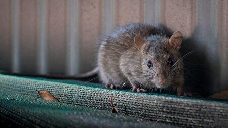 چهره عجیب موش رو به انقراض، محققان را شگفت زده کرد!
