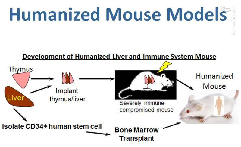 صدور مجوز فایزر و مدرنا توسط نهادی که اعضای جنین انسان را به موش پیوند میزند/اختلالات خونی و مرگ با واکسنهای آمریکایی