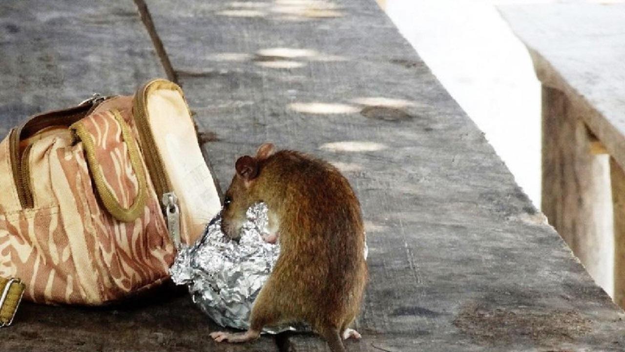 هوس موش برای خوردن کودک خردسال!