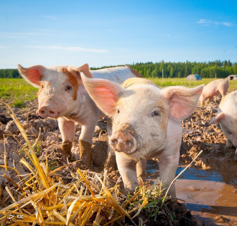 خوردن اجساد مردگان توسط خوک ها!