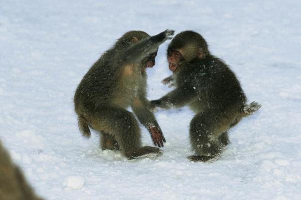 بازی بچه میمونها در برف؛ عکس روز نشنال جئوگرافیک