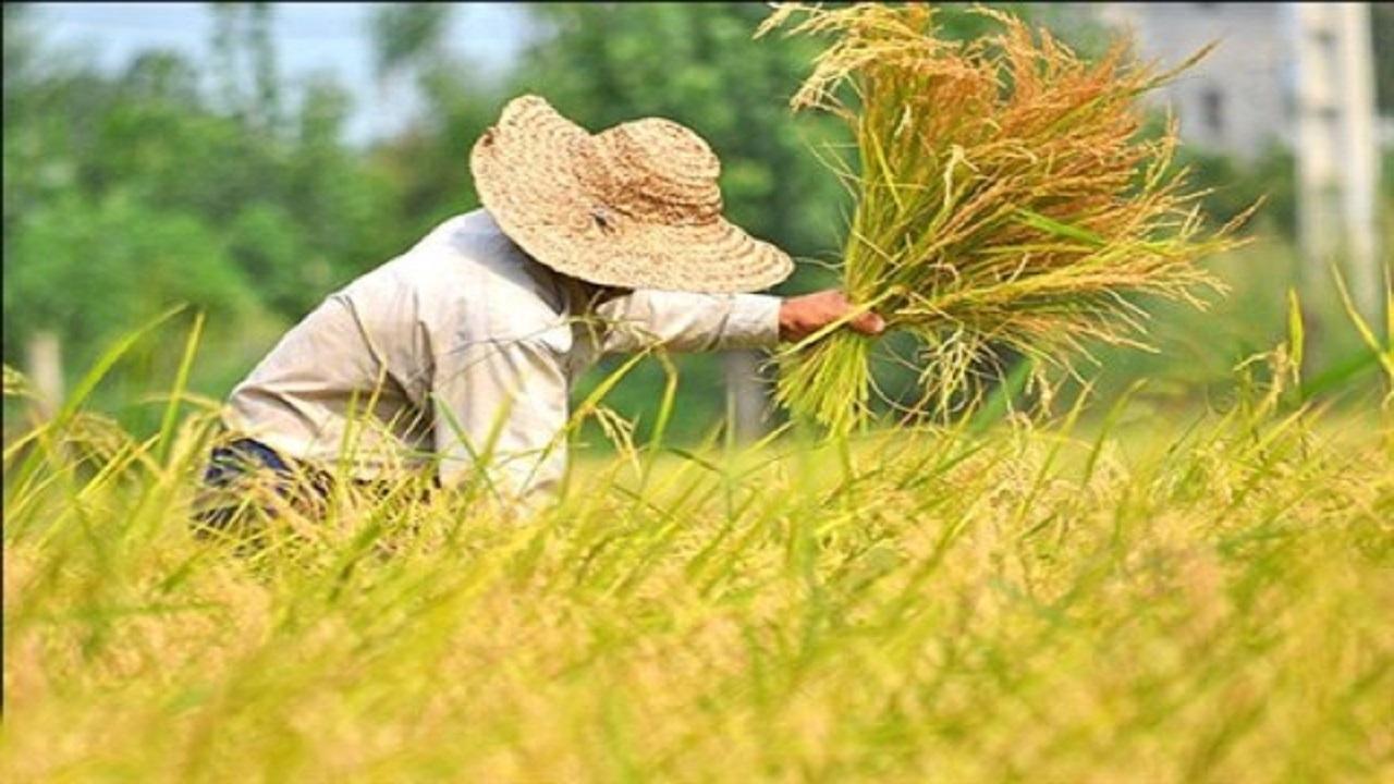 رشت، بزرگترین تولید کننده برنج در کشور