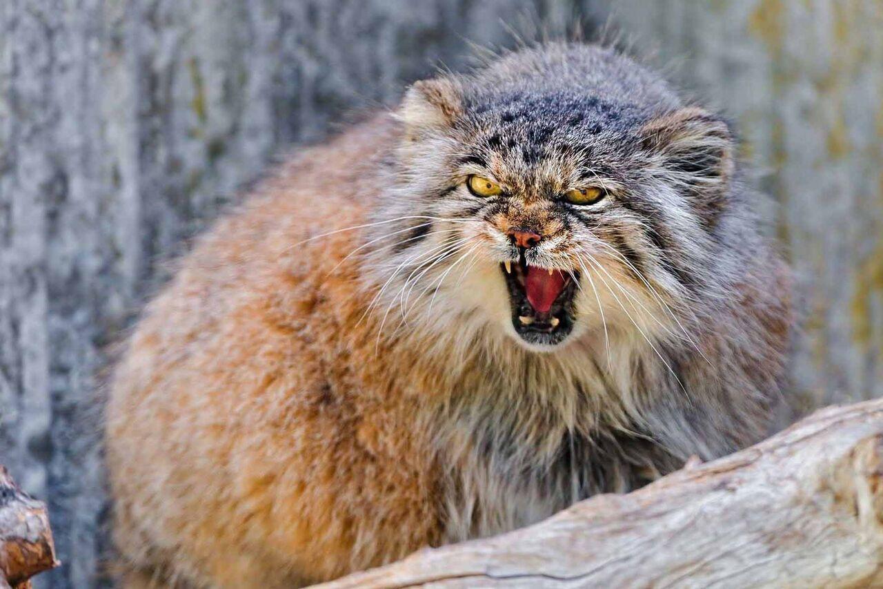کدام گونههای حیوانی درمعرض انقراض هستند؟