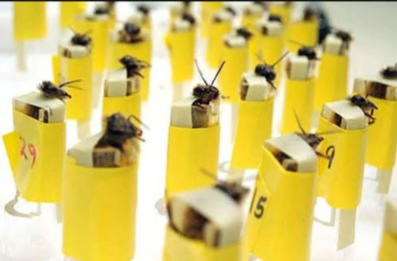 زنبورهای مین یاب