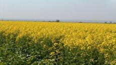گنج نجات بخش اقتصاد ایلام در انتظار توجه مسئولان برای استخراج/ این دانههای سحرآمیز را دریابید!