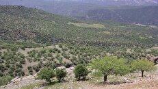 جنگلهای بلوط زاگرس در چنگال آفات؛ از بیماری زغالی تا جوانهخوارها