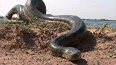 جریان کشف گونه جدید و کشنده مار در خوزستان چیست؟