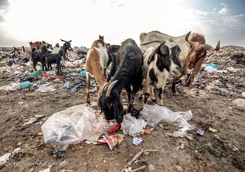 تغذیه احشام از زباله ها