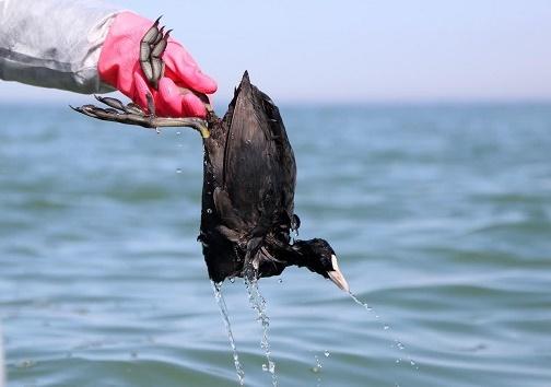 سرگذشت غم انگیز پرندگان میانکاله + تصاویر